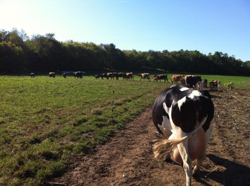 Leading the cows to the barn through the pasture